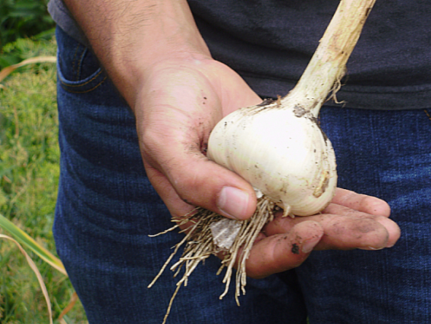 Homegrown garlic