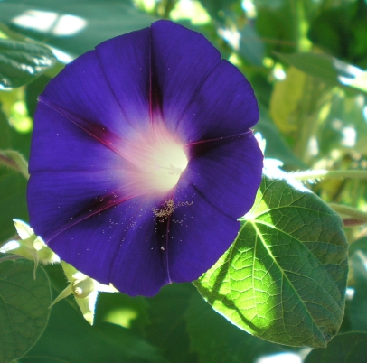 morning glory by M